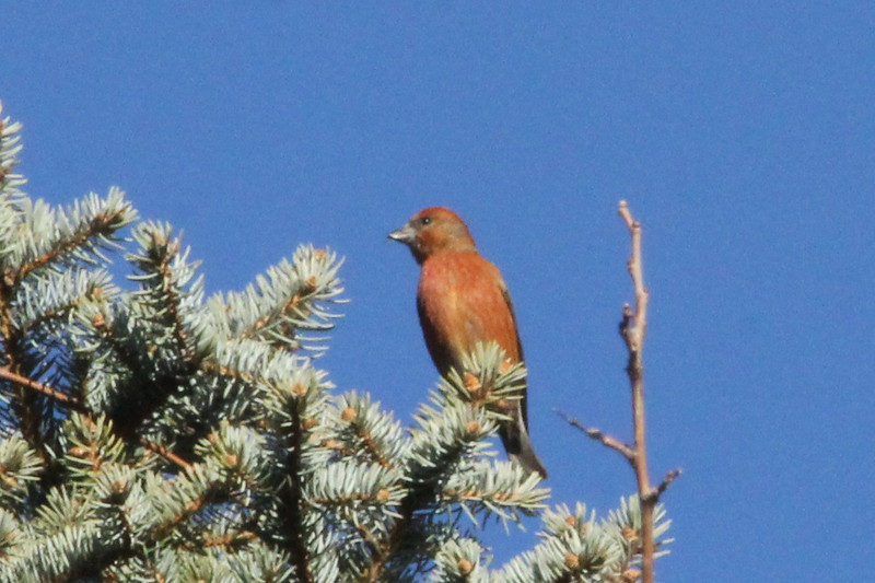 December 22, 2012 (Faust County Park [Hemlocks over Music School] / Chesterfield, Saint Louis County, Missouri) -- Male Red Crossbill