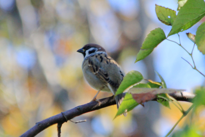 October 2, 2012 (Parkway Central High School [under radio towers] / Chesterfield, Saint Louis County, Missouri) -- Eurasian Tree Sparrow