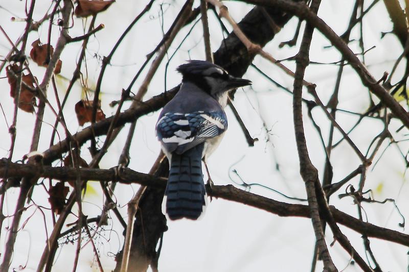 November 1, 2012 (Parkway Central High School [under radio tower] / Chesterfield, Saint Louis County, Missouri) -- Blue jay