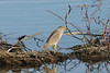 November 17, 2012 (Lincoln Shields Recreation Area [Bay near entrance] / West Alton, Saint Charles County, Missouri) -- Juvenile Black-crowned Night Heron