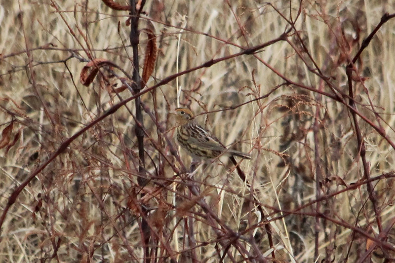 December 15, 2012 (August Busch Conservation Area [Lake 33 Spillway Marsh] / Weldon Springs, Saint Charles County, Missouri) -- Le Conte's Sparrow