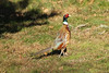 November 18, 2012 (Eldon Hazlett State Park [in field outside entrance] / Carlyle, Clinton County, Illinois) -- Ring-necked Pheasant
