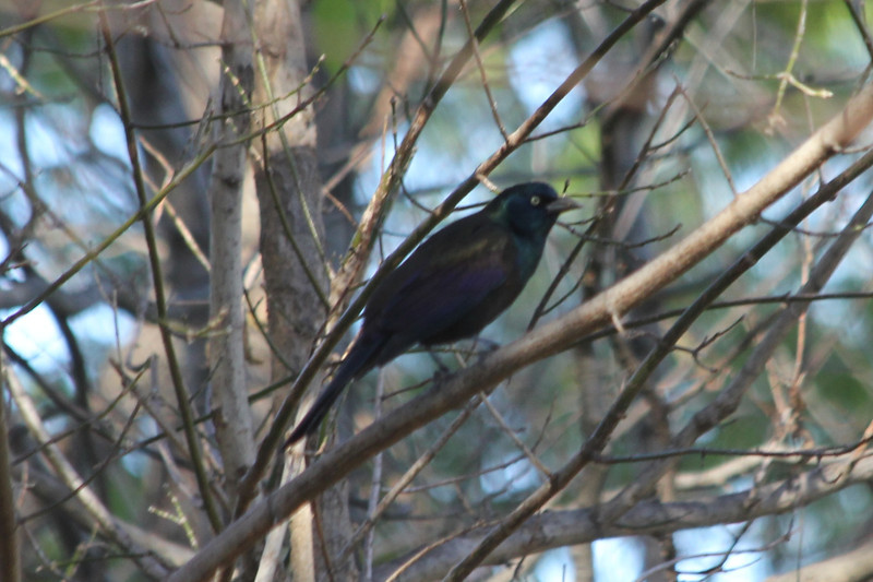 November 13, 2012 (Parkway Central High School [wooded trail] / Chesterfield, Saint Louis County, Missouri) -- Common Grackle
