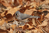 November 3, 2012 - (Lone Elk County Park [near visitor center] / Valley Park, Saint Louis County, Missouri) -- Tufted Titmouse