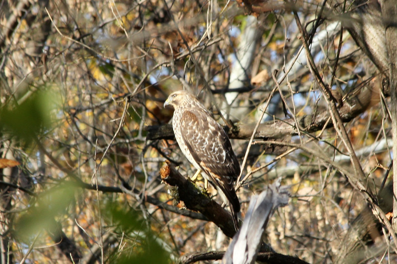 October 25, 2012 (Parkway Central High School [wooded trail] / Chesterfield, Saint Louis County, Missouri) -- Red-shouldered Hawk