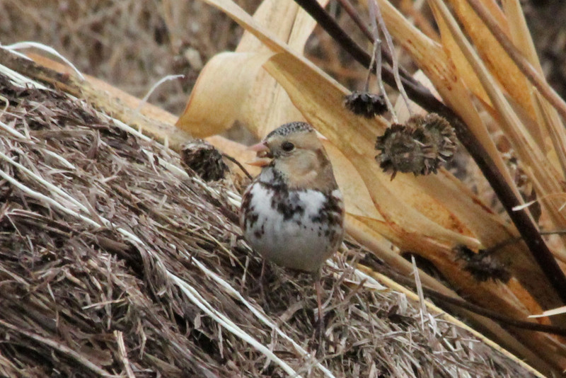 December 9, 2012 (University of Missouri [Bradford Farm woodpile] / Columbia, Boone County, Missouri) -- Harris's Sparrow