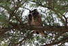 December 5, 2012 (Carondelet Park / Saint Louis City, Missouri) -- Great Horned Owl