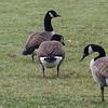 Brnacle Goose with Canada Geese, Van Cortlandt Park