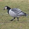 Barnacle Goose, Van Cortlandt Park, 12-8-12