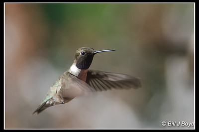 Black-Chinned Hummingbird...Pedernales Falls State Park...April 23, 2012