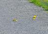 Shenandoah National Park - Gold Finch