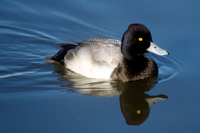 Lesser Scaup...Sunset Bay, White Rock Lake, Dallas, Texas...January 11, 2012