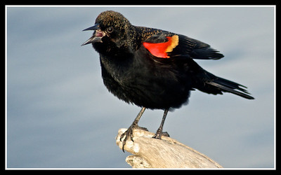 Red-Winged Blackbird...Sunset Bay, White Rock Lake, Dallas, Texas...January 15, 2012
