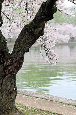 2012 Cherry Blossom Festival DC