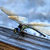 CRIT5  -  This little guy flew right up to us at the state park today Oct 2012.