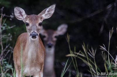 Backyard Deer...Austin