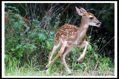 Baby Deer (my backyard Austin)