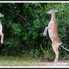 Deer Spat (Austin Backyard)