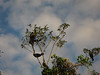 Anhingas fighting over a tree