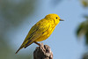 Yellow warbler view 1