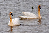 Trumpeter swans 2