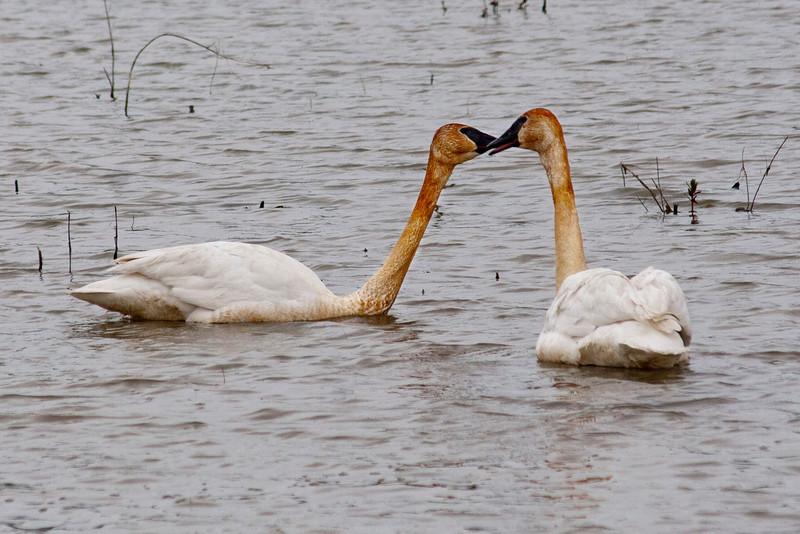Trumpeter swans 1