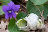 Downy violet and snail shell