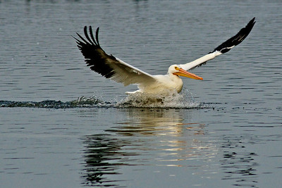 American White Pelican...Sunset Bay, White Rock Lake, Dallas, Texas...January 8, 2012