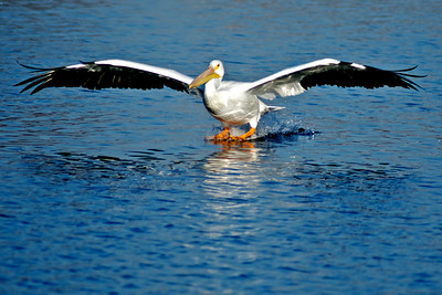 American White Pelican...Sunset Bay, White Rock Lake, Dallas, Texas...January 6, 2012