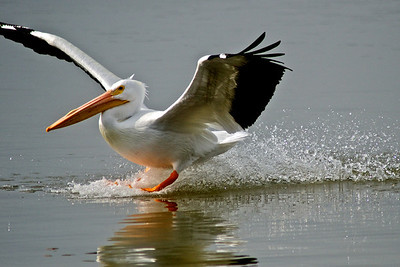American White Pelican...Sunset Bay, White Rock Lake, Dallas, Texas...February 2, 2012