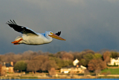 American White Pelican...Sunset Bay, White Rock Lake, Dallas, Texas...January 7, 2012
