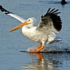 American White Pelican (Dallas, Texas)
