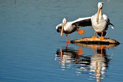 American White Pelicans...Sunset Bay, White Rock Lake, Dallas, Texas...January 5, 2012