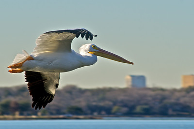 American White Pelican...Sunset Bay, White Rock Lake, Dallas, Texas...January 4, 2012 (afternoon)