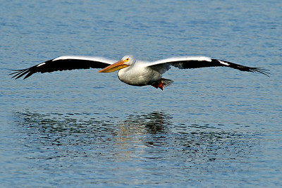 American White Pelican...Sunset Bay, White Rock Lake, Dallas, Texas...January 4, 2012