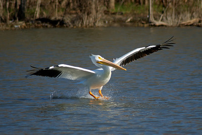 American White Pelican...Sunset Bay, White Rock Lake, Dallas, Texas...January 30, 2012
