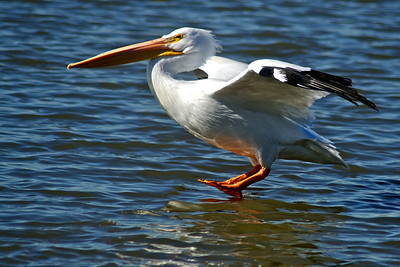 American White Pelican...Sunset Bay, White Rock Lake, Dallas, Texas...January 13, 2012