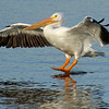 American White Pelican (Dallas, Texas)