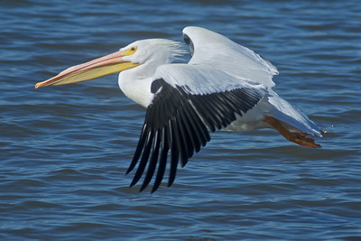 American White Pelican...Sunset Bay, White Rock Lake, Dallas, Texas...January 19, 2012