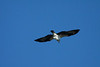 8176 - Osprey in San Rafael on January 14, 2012