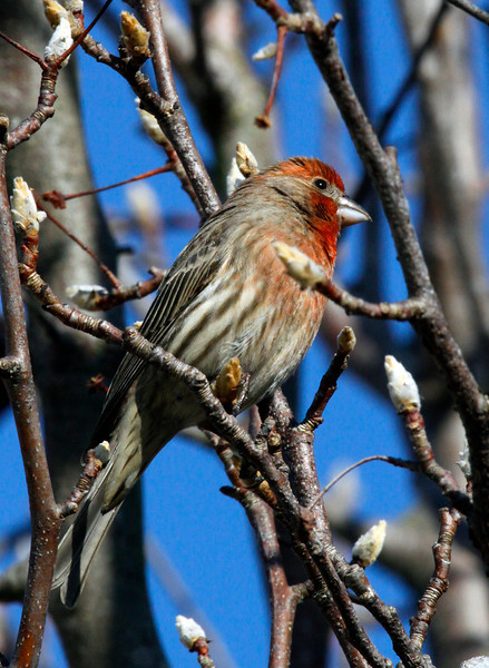 A male House Finch was among the counted birds on the Winter Youth Bird Count in San Rafael, Calif. on Saturday, January 14, 2012.(Special to the IJ/Jocelyn Knight)