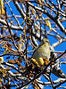 An American Goldfinch seen during the 2nd Annual Youth Bird Count in San Rafael, Calif on Saturday, January 14, 2012.(Jocelyn Knight Photo)