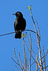 American Crow in San Rafael, Calif. on Saturday, January 14, 2012.(Jocelyn Knight Photo)