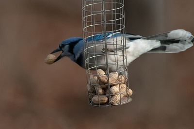 Bluejay With Peanut
