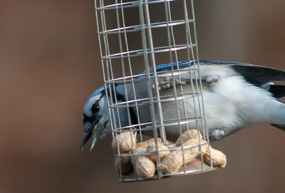 Bluejay with Two Peanuts (Cropped)