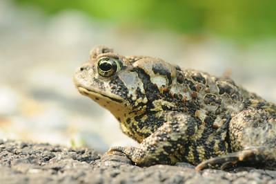 Toad, May 2012