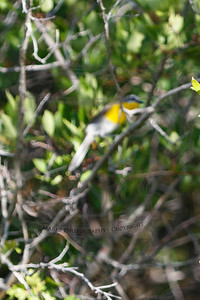 Yellow Breasted Chat (migratory & out of focus)  I was 1/2 mile away and heard a bird I hadn't heard before. I stalked it and this was the best I could do. I spent 30 minutes looking it up too. I'll try again tomorrow.