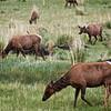 Elk, Yellowstone NP
