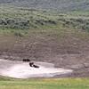 Bears, Yellowstone NP