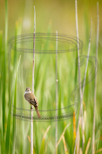 A wee bird clinging to an old cattail stem.